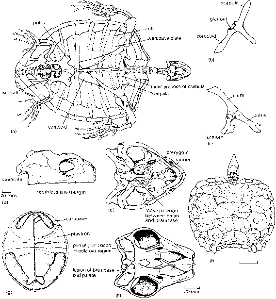 Dorsal And Ventral View Testudines
