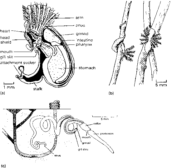 Phylum Hemichordata Pterobranchs And Acorn Worms Amphibians