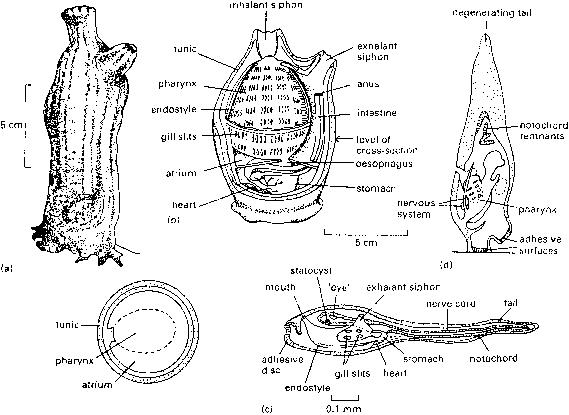 sea squirt anatomy - amphibians