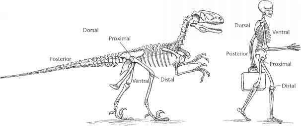 Theropod Skeletons - Defining Dinosaurs - Fossil Hunters