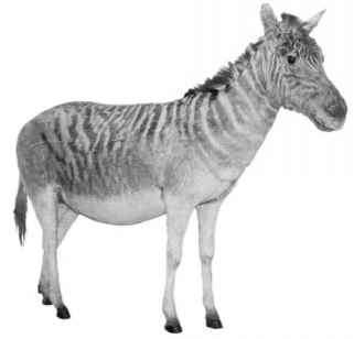 Quagga Isolated