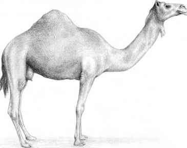 Vanished From Earth Camel