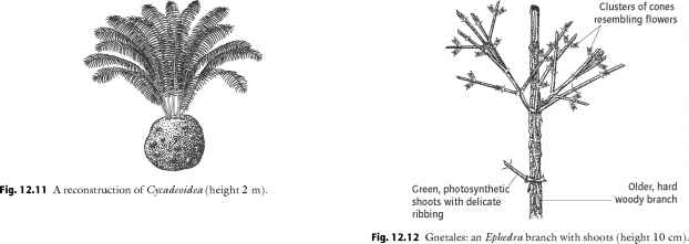 Gymnosperms Classification