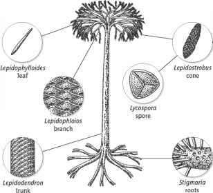 Lepidodendron Stem Anatomy