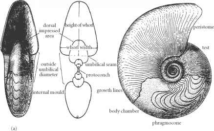 Diagram Connecting Ring Ammonoidea
