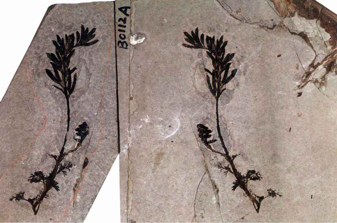 Liaoning Fossil Plants