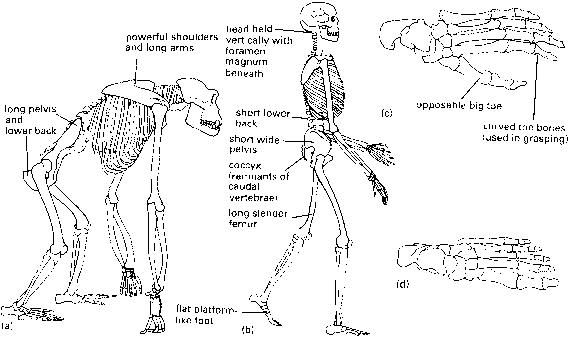 Gibbon Ape Skeleton
