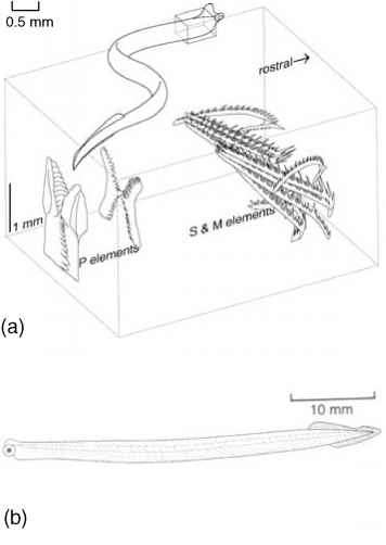 Conodont Diagram Label