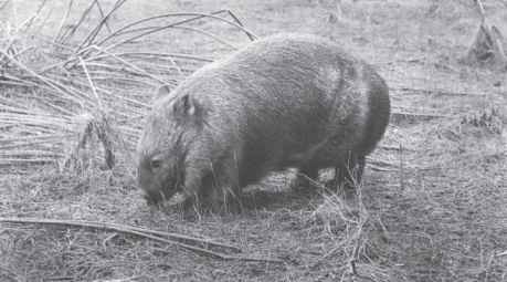 Wombat Long Long Grass