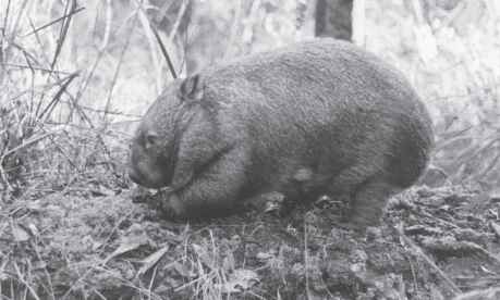Were Wombats Are Found