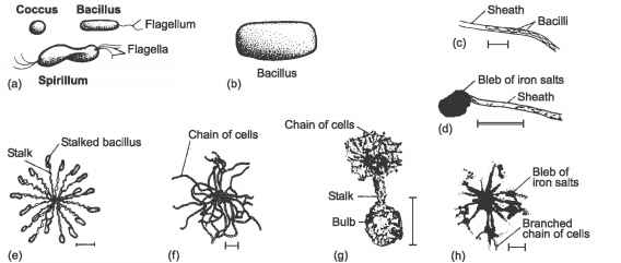 Schematic Diagram Bacteria Budding