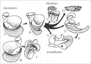 torsion gastropods. figure 13.10 rudist growth strategies: encrusters (a, b, h and i), elevators (c, d e) recumbents (f, g). (from skelton, p.w. 1985. spec. pap. torsion gastropods n