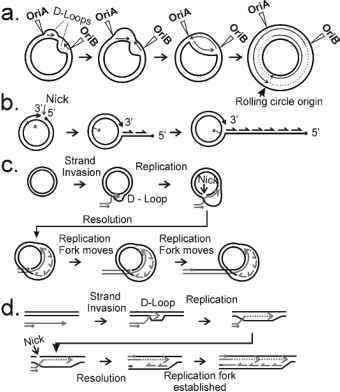 Loop Model Dna Replication