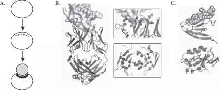 Protein Ligand Cartoon