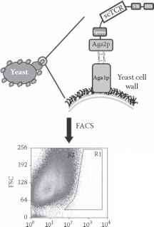 Phage And Yeast Display