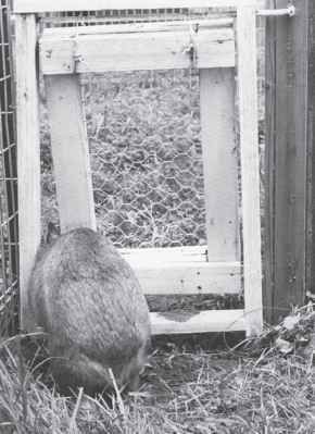 Wombat Breaking Through Fence